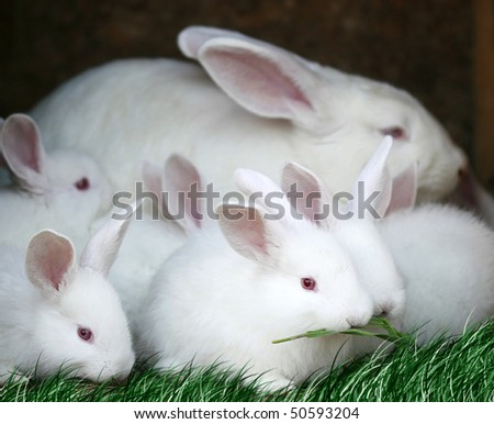 white rabbits with red eyes and very fluffy