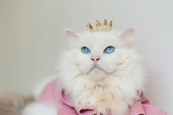 White ragdoll cat blue eyes in pink coat yellow crown proud face look up