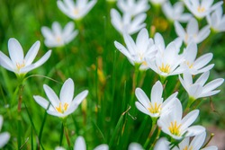 White Rain lily It is categorized as a tuberous plant that is drought tolerant and has beautiful flowers that are commonly grown in garden plots. It is useful in the field of ground cover crops.