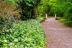 White ramson flowers along park  pathway. Flowering ramson meadow. Blooming wild garlic plants in Schwetzingen German park