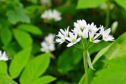 White ramson flowers field. Flowering ramson meadow. Blooming wild garlic plants in woodland.