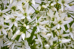 White ramson flowers, macro close up. Blooming wild garlic. Flowering ramson petals, closeup. White star flower