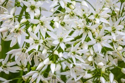 White ramson flowers, macro closeup. Beautiful Blooming wild garlic. Flowering ramson petals, close up. White star flower
