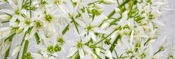 White ramson flowers, macro closeup. Blooming wild garlic. Banner. Flowering ramson petals, close up. White star flowers
