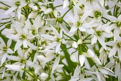White ramson flowers, macro, closeup. Blooming wild garlic. Flowering ramson petals, close up. White star flower