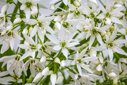 White ramson flowers, macro closeup. Blooming wild garlic. Flowering ramson petals, close up. White star flower
