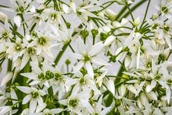 White ramson flowers, macro closeup. Flowering ramson petals, close up. White star flower. Blooming wild garlic.