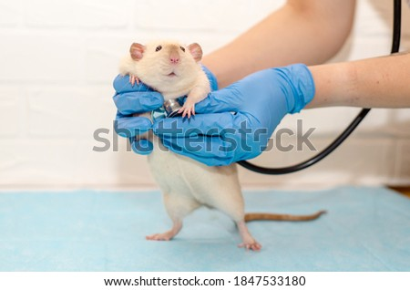 White rat dumbo siam at the veterinarian doctor's appointment with hands in blue gloves. Examination of the rat, listening to the heart with a stethoscope Foto stock ©