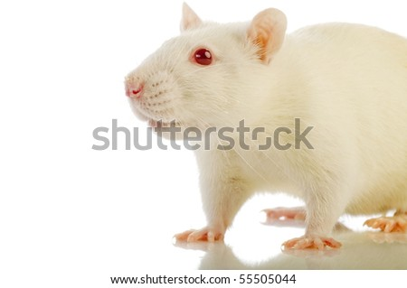 white rat isolated