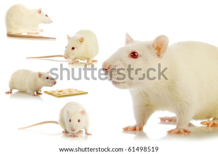 white rat isolated  collage - stock photo