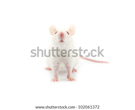 white rat isolated on white background