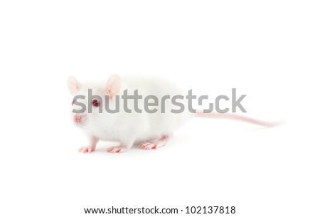 white rat isolated on white background
