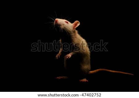 White rat on a black background. The photo was taken in a low key.