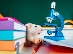 White rat sitting on microscope. Education concept - rat with books in the class, auditorium over chalkboard background