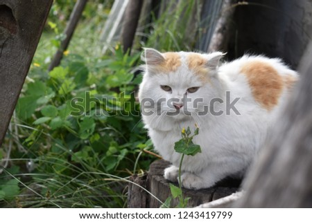 white red cat in nature, sitting on a stump next to the boards Сток-фото ©