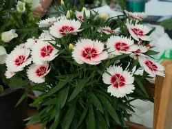 White red Dianthus Chinensis or Single Dianthus, small shrub with beautiful and lovely flowers. Unique shape petal, with a frilled or zigzag edge, make the flowers look like beautiful butterfly.