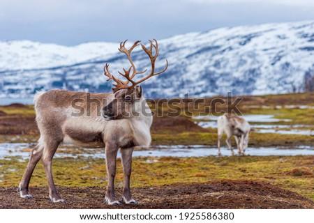 White reindeer with big antlers in the northern region of Norway  Сток-фото ©