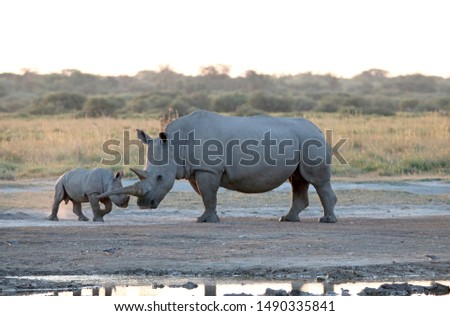 WHITE RHINO AND CALF INTERACTING NEXT TO A PAN OF WATER AT SUNDOWN IN AFRICA #1490335841