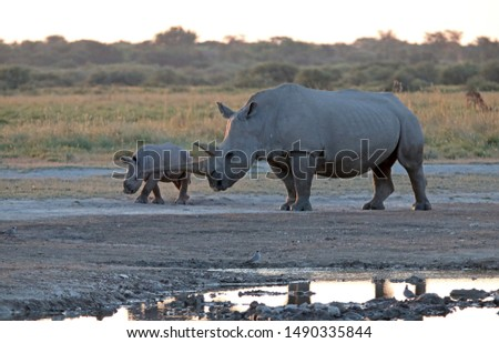 WHITE RHINO AND CALF INTERACTING NEXT TO A PAN OF WATER AT SUNDOWN IN AFRICA #1490335844