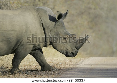 White Rhino Bull (Ceratotherium simum) crossing a road in South Africa's Kruger Park