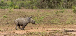 White Rhino calf going to the toilet