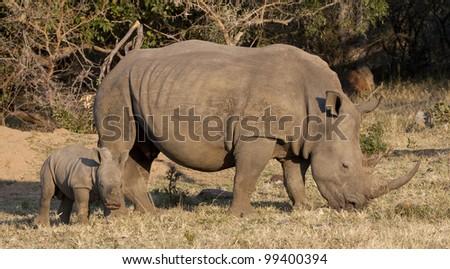 White Rhino (Ceratotherium simum) and yooung calf, South Africa