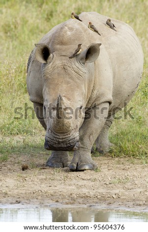 White Rhino (ceratotherium simum) approaching a water pan in South Africa's Kruger Park