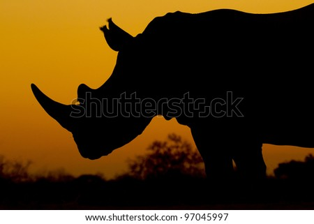 White Rhino (Ceratotherium simum) at Sunset, South Africa