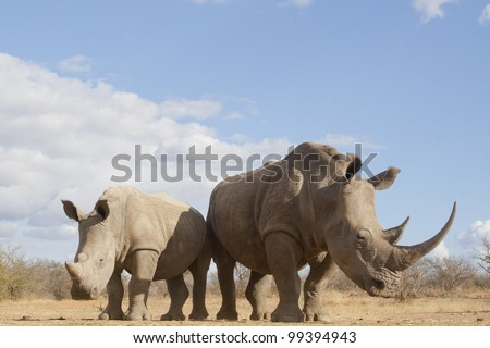 White Rhino (Ceratotherium simum) female and calf, South Africa