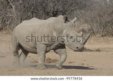 White Rhino (Ceratotherium simum), Kruger Park, South Africa