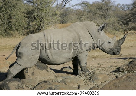 White Rhino (Ceratotherium simum) rubbing on a rock, South Africa