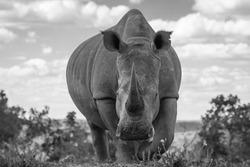 White rhino ( Ceratotherium Simum), very close, Welgevonden Game Reserve, South Africa.