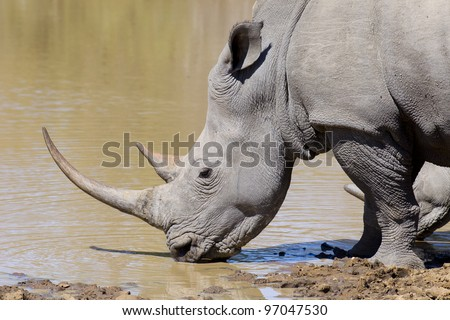 White Rhino (Ceratotherium simum) with large horn drinking water