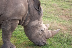 White Rhino Eating Grass in the Wild
