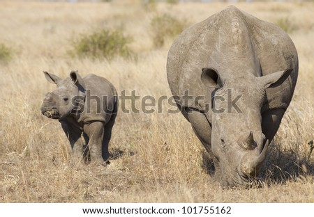 White Rhino female with baby (Ceratotherium simum), South Africa - stock photo