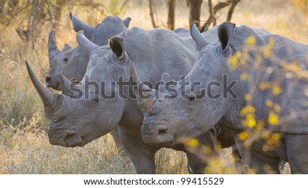 White Rhino group (Ceratotherium simum), Kruger Park, South Africa