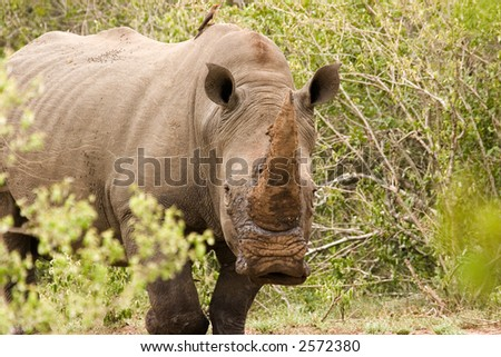 white rhino in kruger national park south africa