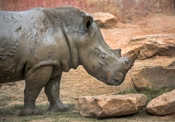 white Rhino in zoo.