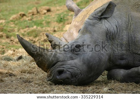 White rhino laying down on a sunny day with a background of grass. View of the head and neck.