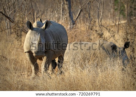 White rhino / rhinoceros, showing off his huge horn. South Africa
