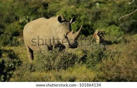 White rhino sanding in the green bush in South Africa - stock photo