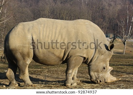 White rhino with big horn grazing on grass