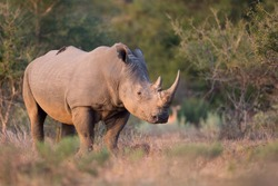 White rhino with big horns walking in the late afternoon sun through thorny bushveld
