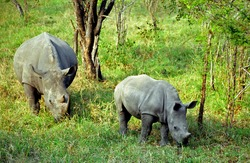 White rhino with her calf, Kruger National Park, South African Republic