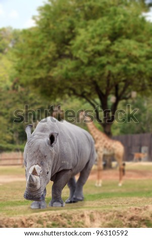 White rhino with isolated background and the cliped part.