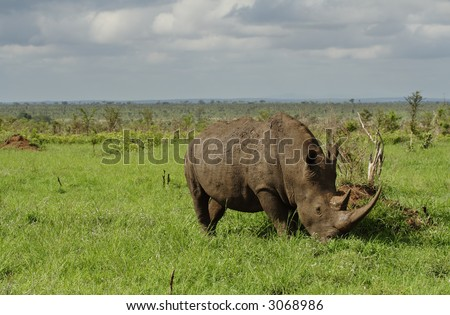 White rhino with very long horn grazing in a field