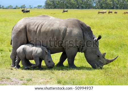 white rhino with 2 weeks calf