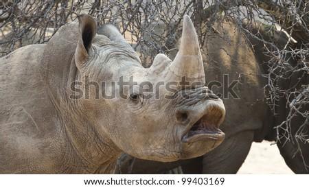 White Rhino yawning (Ceratotherium simum), South Africa