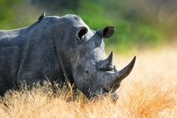 White rhinoceros bull portrait , highly focused and alerted in tall golden grass. Kruger National Park. Ceratotherium simum