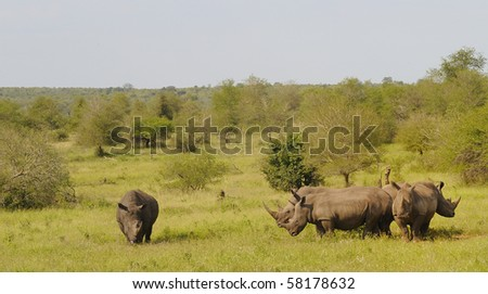 White Rhinoceros (Ceratotherium simum). Family group, Orpen, Kruger National Park, South Africa